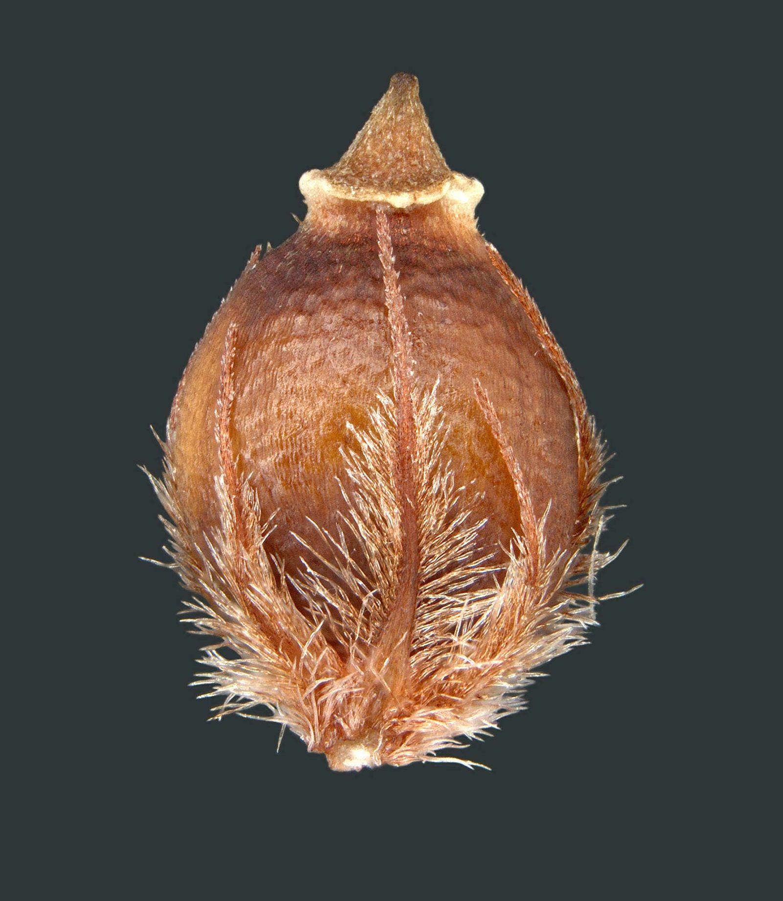 Achene  Or Fruit  Of A Beak